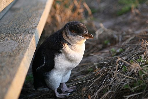 Little penguin Eudyptula minor